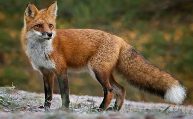 foto de zorro rojo