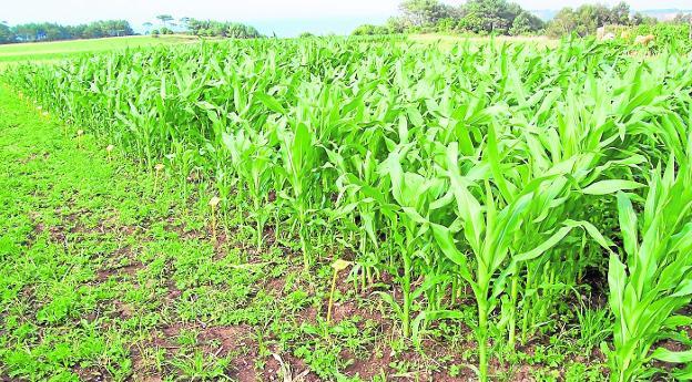 Resultado de imagen para plantaciones maiz