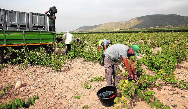 A group of day laborers works harvesting one of the wineries of Bodegas de Juan Gil, in Jumilla, last Friday.