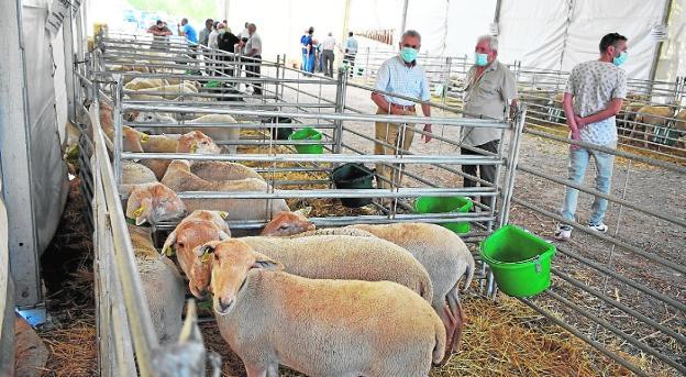 Algunos de los mejores ejemplares de corderos expuestos en la feria ganadera de Archivel. / J. F. R.