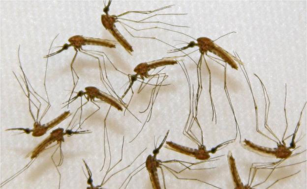 Mosquitoes, the first vector of malaria transmission.