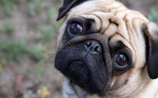 A dog of the pug breed.